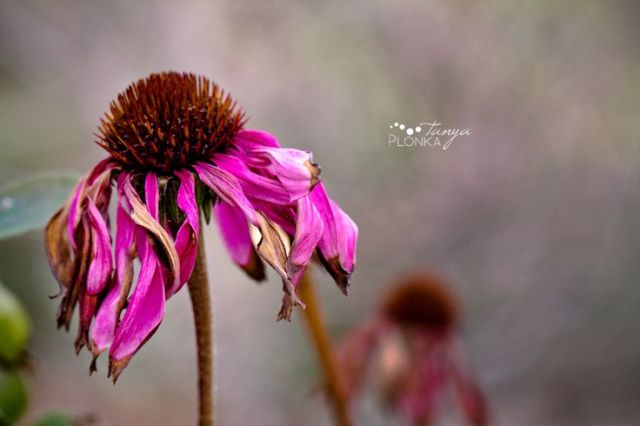 Dead Flower_Pinterest